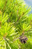 Pine tree. Close-up viev of wild pine tree with a cone Royalty Free Stock Photography