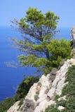 Pine-tree Royalty Free Stock Photo