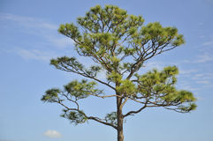 Pine Tree. Against blue sky in Florida Royalty Free Stock Photography
