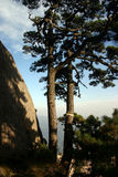 Pine tree. In a mountain in china Royalty Free Stock Photography