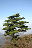 Pine tree. The pine tree in the mountain in china Royalty Free Stock Image
