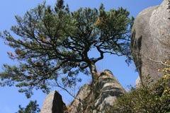 Pine tree. On mountain side Stock Photos