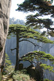 Pine tree. The pine tree in the mountain in china Stock Photos