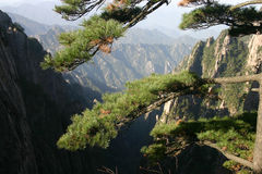 Pine tree. Branches of pine tree on mountainside Royalty Free Stock Images
