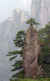 Pine tree. The pine tree in the mountain Royalty Free Stock Image