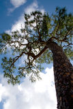 Pine Tree. Tall thin pine tree against a blue sky with white puffy clouds Stock Photos
