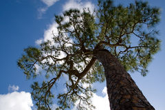 Pine Tree. Tall thin pine tree against a blue sky with white puffy clouds Royalty Free Stock Photo