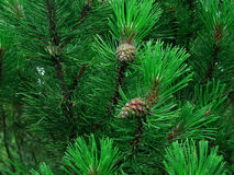 Pine tree. In the forest Stock Photo