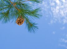 Pine Tree. Pine cone hanging from a tree branch with a blue sky Royalty Free Stock Image