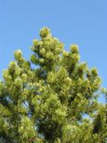 Pine Tree. A pine tree against a blue sky Stock Images