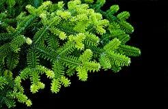 pine tree Στοκ Εικόνες