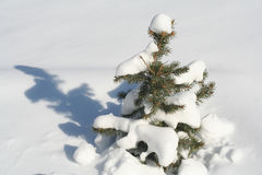 Pine tree. In winter Royalty Free Stock Images