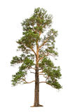 Pine tree. Old pine tree isolated on white royalty free stock images