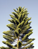 Pine Tree. In Australia Royalty Free Stock Photography