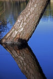 Pine tree. A pine tree leaning in the water in a small lake Stock Photos