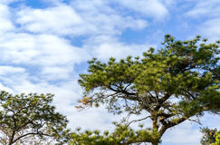 Pine tree above blue sky Stock Images