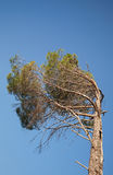 Pine tree above blue sky Royalty Free Stock Image