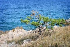 Pine tree at Adriatic coast, Croatia Stock Photography
