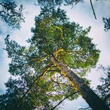 Pine tree in afternoon light Stock Images