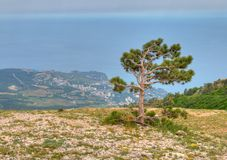 Pine tree against black sea Royalty Free Stock Image
