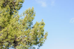Pine tree against blue clear sky Stock Images