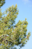 Pine tree against blue clear sky Stock Photos