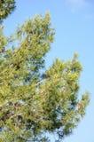 Pine tree against blue clear sky Stock Photos