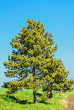 The Pine Tree Stock Photo