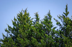 Pine tree against a bright blue sky Stock Images