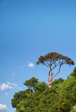 Pine Tree Against Sky Royalty Free Stock Images
