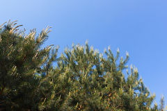Pine tree against the sky. Sprouts of the branches of the pine trees on the background of blue spring sky Stock Images