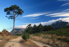 Pine tree against the sky and Table mountain in Cape town Royalty Free Stock Images