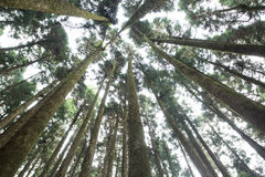 Pine tree in Alishan national] Stock Images