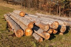 Free Pine Tree And Spruce. A Pile Of Logs In A Meadow At A Forest. Bark Beetle Calamity. Timber Extraction. Preparing For The Winter Stock Photography - 131850782