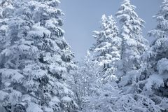 Pine Tree around Shin-Hotaka, Japan Alps stock photography