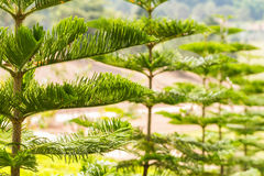 Pine tree Royalty Free Stock Image