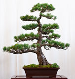 Pine tree as bonsai Royalty Free Stock Image