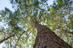 Pine tree in Asia forest Stock Photography