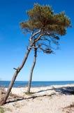 Pine Tree At The Beach Stock Image