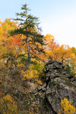 Pine tree in autumn forest Royalty Free Stock Photos
