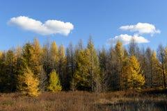 Pine Tree in autumn Royalty Free Stock Photo