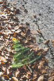 Pine tree and autumn leaves. Pine tree miniature on autumn leaves Stock Photography