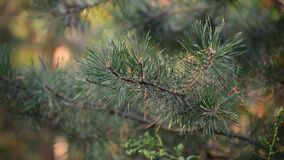 Pine tree in autumn park at sunset stock video footage