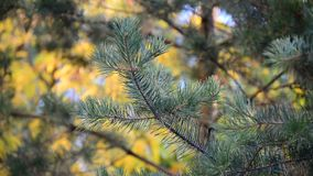 Pine tree in autumn park at sunset stock footage
