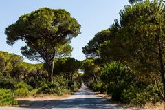 Pine tree avenue in the tuscan region Maremma in Italy Stock Photography