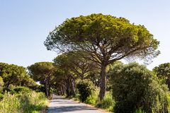 Pine tree avenue in the tuscan region Maremma in Italy Stock Image