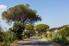 Pine tree avenue in the tuscan region Maremma in Italy Royalty Free Stock Photos