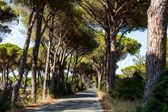 Pine tree avenue in the tuscan region Maremma in Italy Royalty Free Stock Photo
