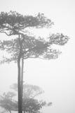 Pine tree. In B&W Royalty Free Stock Image