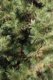 Pine Tree Background Royalty Free Stock Photos